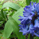 Jacinto-Hyacinth