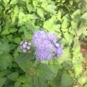 Garden ageratum