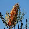 Fern-leaf Grevillea or Golden Tree