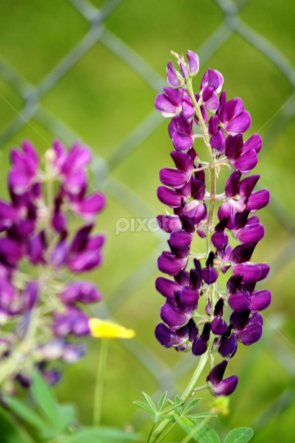 by Dava Guptill Knobel - Flowers Flower Gardens ( purple, yellow, color )