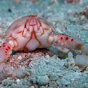 Four Ring Purse Crab