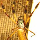 Golden silk orb-weaver (Banana Spider)