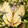 Common (yet exquisite) Map Butterfly
