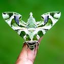 Oleander Hawk-moth or Army Green Moth (Female)