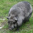 Pot belly pig  (Hängebauchschwein)