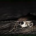 Andaman Uraniid Moth