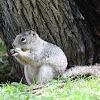Ardilla de las rocas, Rock squirrel