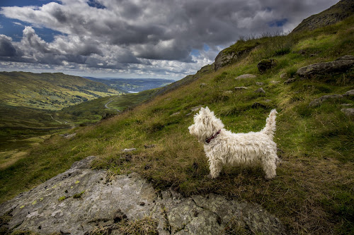 Misty Hill top by Gordon Bishop - Animals - Dogs Portraits ( highland, hill, walking, mountain, scruffy, pet, k9, white, terrier, dog, west, animal )