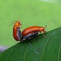 Clay colored leaf beetle