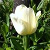 Tulip (Tulpe)