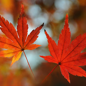 Autumn Leaves Couple by Leka Huie - Nature Up Close Leaves & Grasses ( , fall, color, colorful, nature )