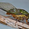 Cicada/Chicharra