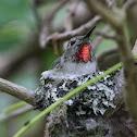 Anna's Hummingbird - Female on Nest