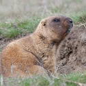 Steppe Marmot
