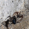 Common grey house spider