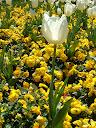 Fotos Gratis  Naturaleza - Flores - Tulipanes