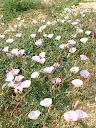 Fotos Gratis Naturaleza - Flores - Campanillas