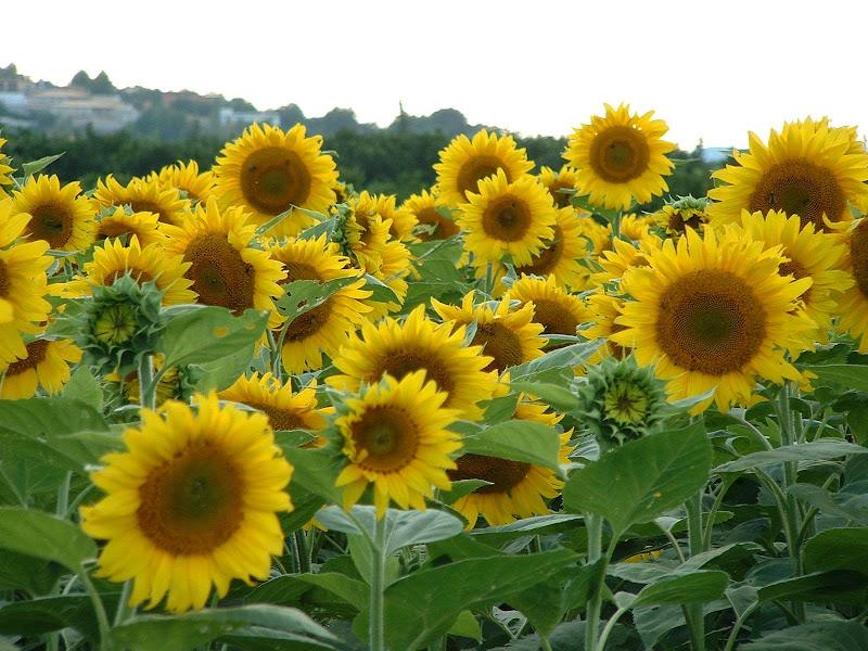 Fotos Gratis  Naturaleza - Flores - Girasoles