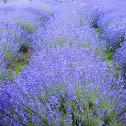common lavender, true lavender or narrow-leaved lavender
