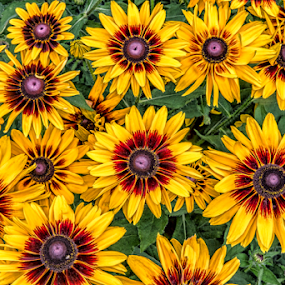 Happy by Michael Buffington - Flowers Flower Gardens ( rudbeckia, daisy, yellow, garden, natural, blossoms, flower,  )