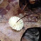 Pinwheel marasmius