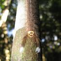 Moth caterpillar (Family Lasiocampidae)