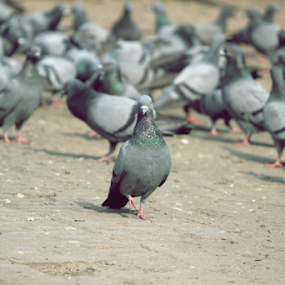 A gentleman's walk. by Nitish Khureja - Animals Birds ( pigeons, india, birds,  )