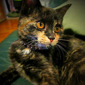 Sparkles by Samantha Walls - Animals - Cats Portraits