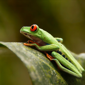 Red-eyed Treefrog (Agalychnis callidryas) by Siggy In Costa Rica - Animals Amphibians ( orange, red, colorful, blue, frog, green, treefrog,  )