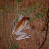 Robinson's Flying Frog