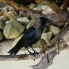 Maldivian house crow