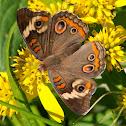 (Common) Buckeye butterflies