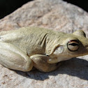 Roths Tree Frog