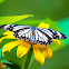 White Tiger (butterfly)