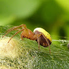 Six-spotted Orb Weaver Spider