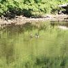 Mallard/Wild Duck