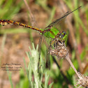 Rusty Snaketail Dragonfly
