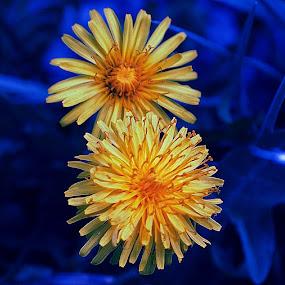 Similares by Daniel Sapag - Flowers Flower Gardens ( jardin, amarillo, flores, azul, naturaleza )