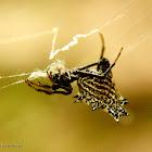 Spined micrathena orb weaver spider