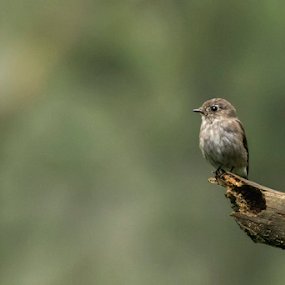 Dark-sided Flycatcher by Rusman Budi Prasetyo - Animals Birds (  )