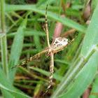 Argyope spider