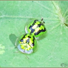 Green Tortoise Beetle (Mating)
