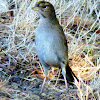 Golden Crowned Sparrow (immature)