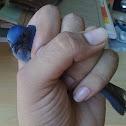 Black-naped Monarch (female)