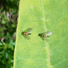 Long-legged Flies