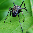 Black Ant mimic jumping spider