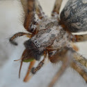 Big house spider