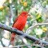 Tangara roja migratoria