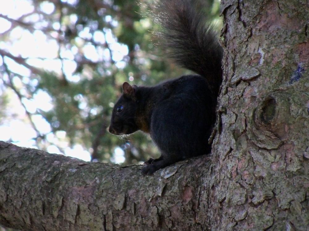 Eastern Gray Squirrel, melanistic