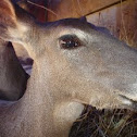 Venado cola blanca texano (white-tailed deer)